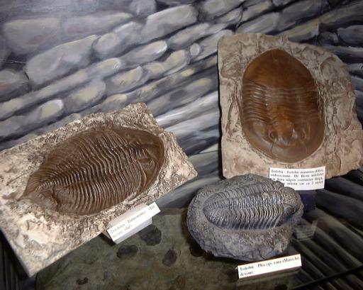 trilobiter stora