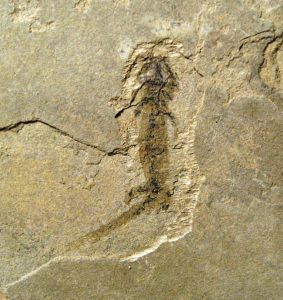Branchiosaur 2