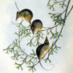 Tarsipes rostratus Gould